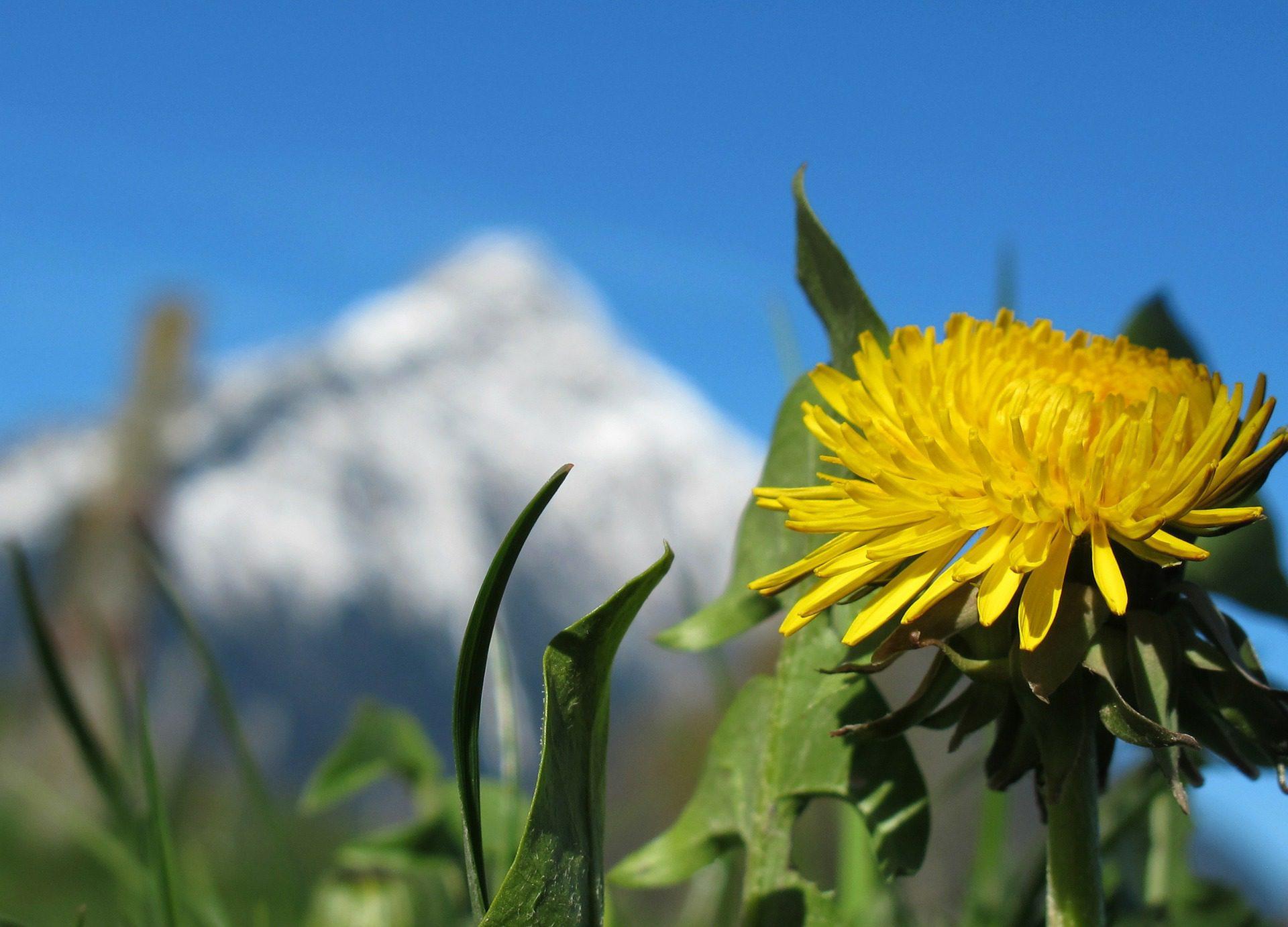 Dandelion-the secret weed you should be eating